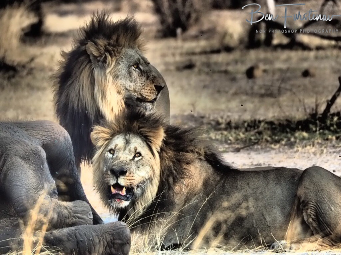 Lion brothers, Khaudum National Park, Namibia