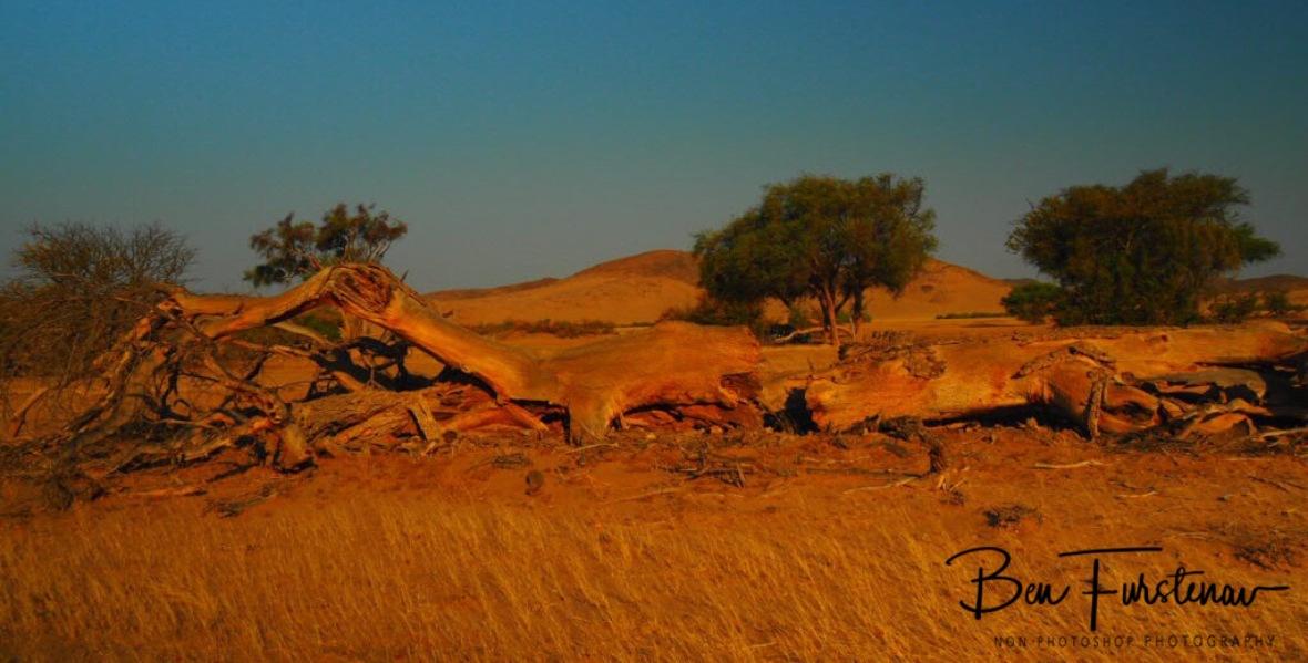 Fallen trees, Damaraland, Namibia