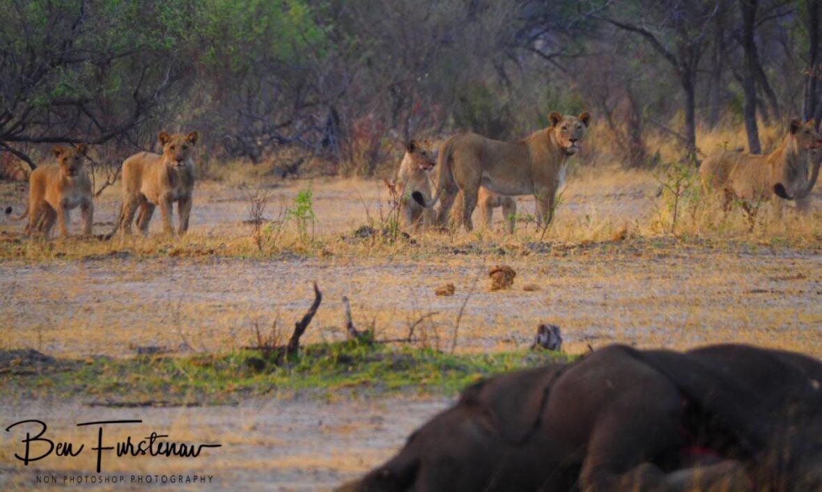 Scared lion pride, Khaudum National Park, Namibia