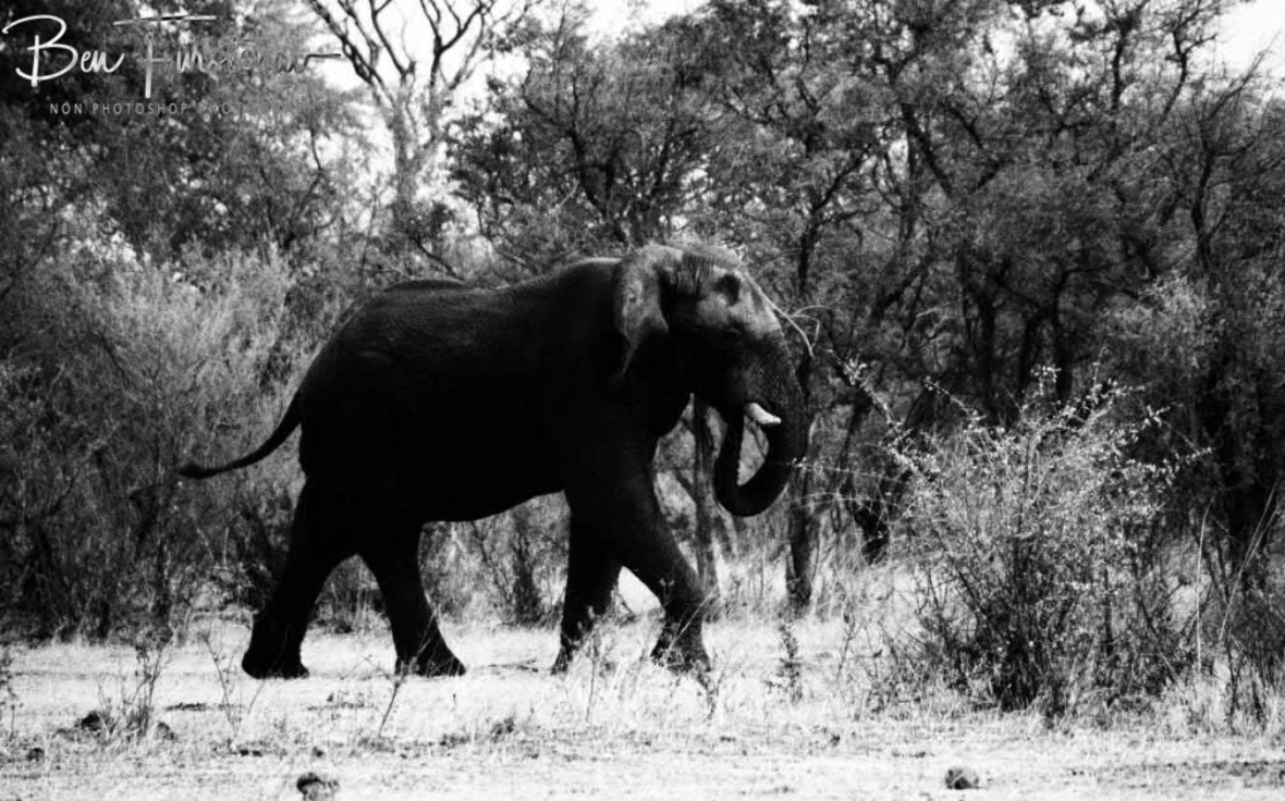 A happy elephant passes by, Khaudum National Park, Namibia