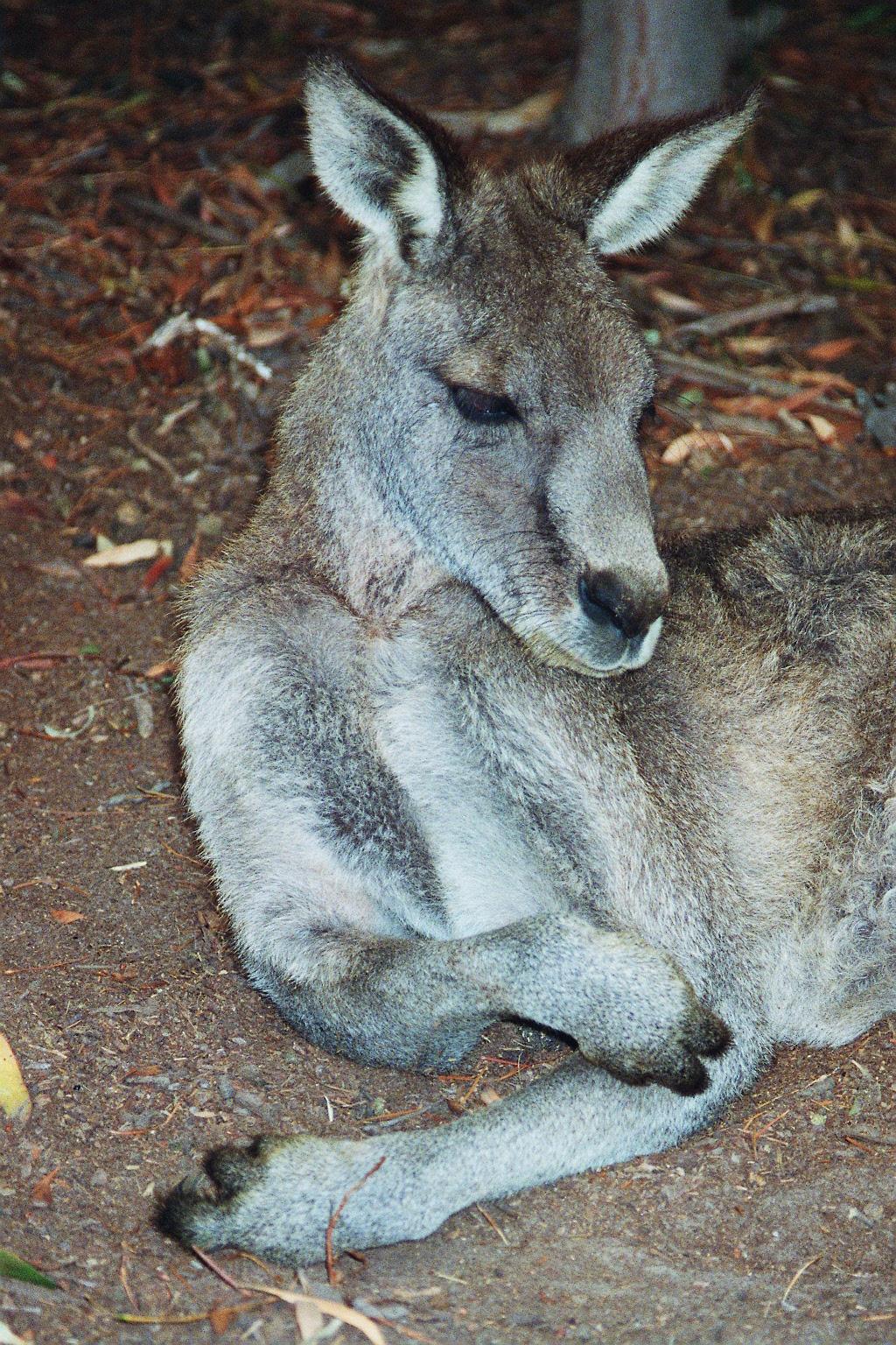 Skippy is having a rest, Victoria, Australia