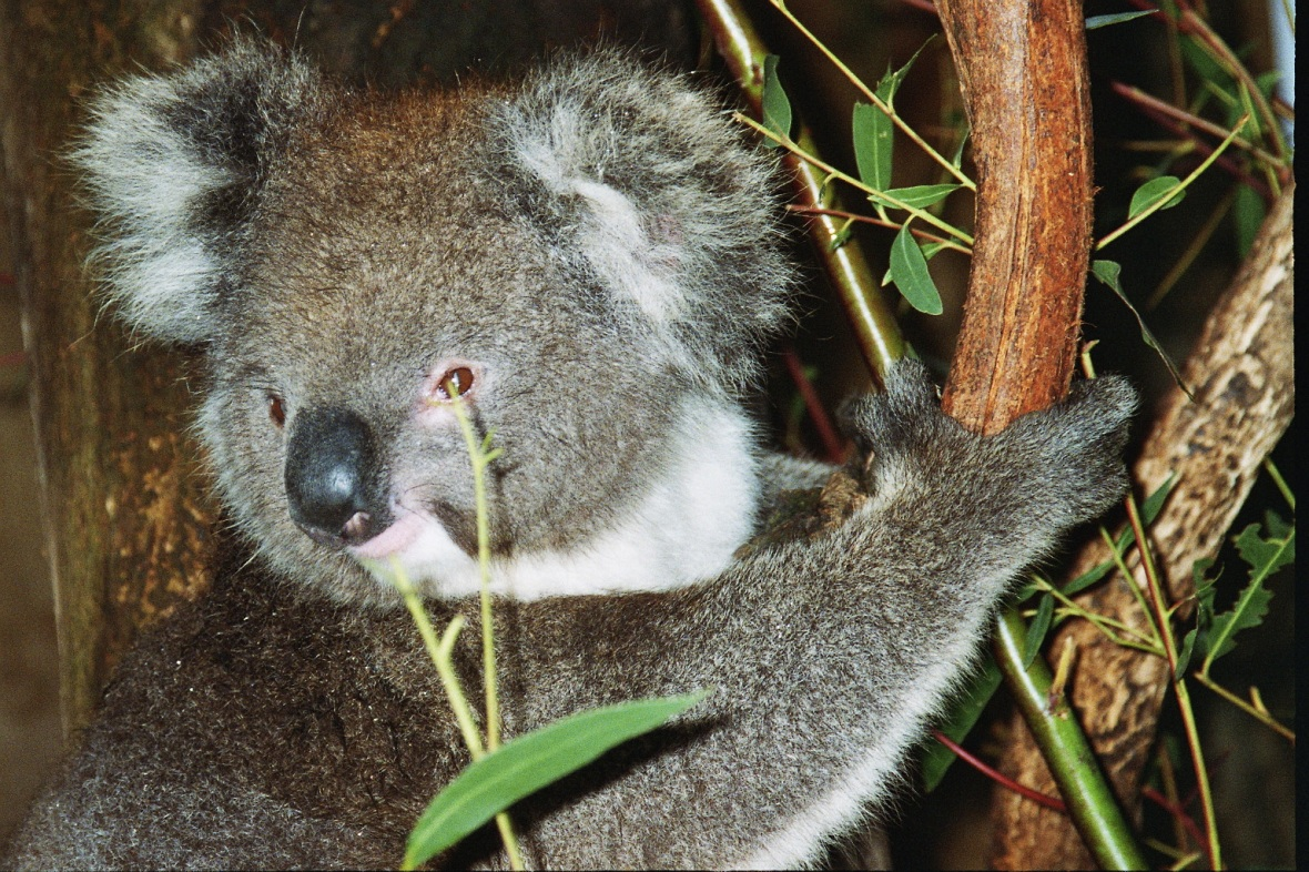 One of many koalas on Kangaroo Island, South Australia, Australia
