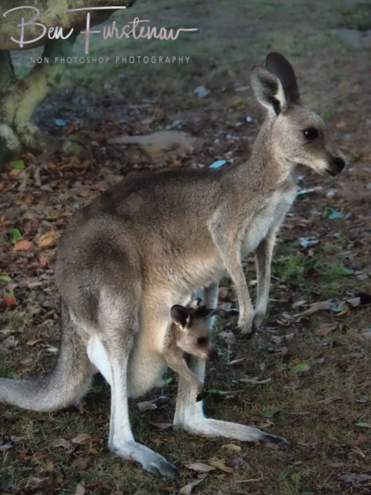 A vary mom with a Joey in her pouch, Gibraltar Range National Park, NSW, Australia