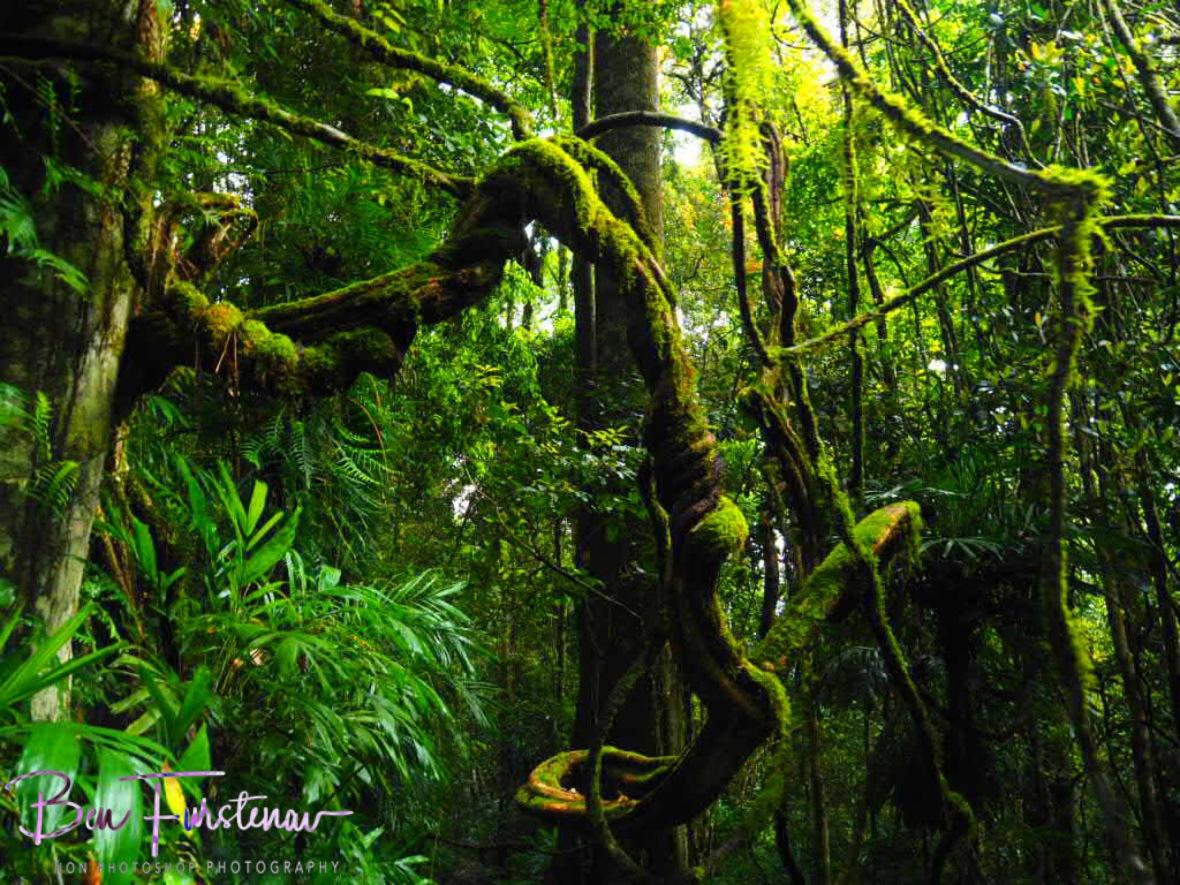 Mossy labyrinth, Washpool National Park, NSW, Australia