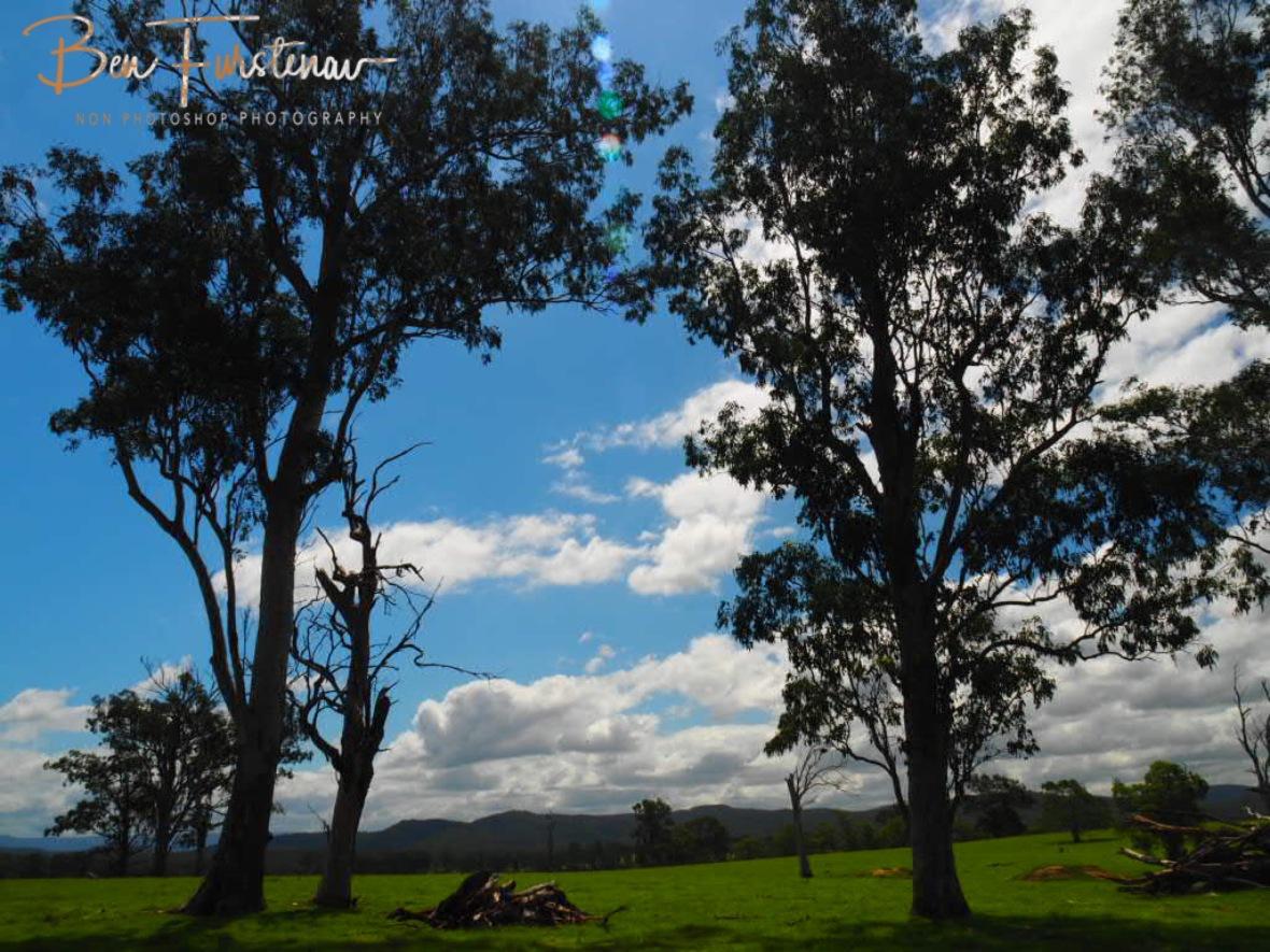 Tall timber lining the escarpment inland from Grafton, NSW, Australia