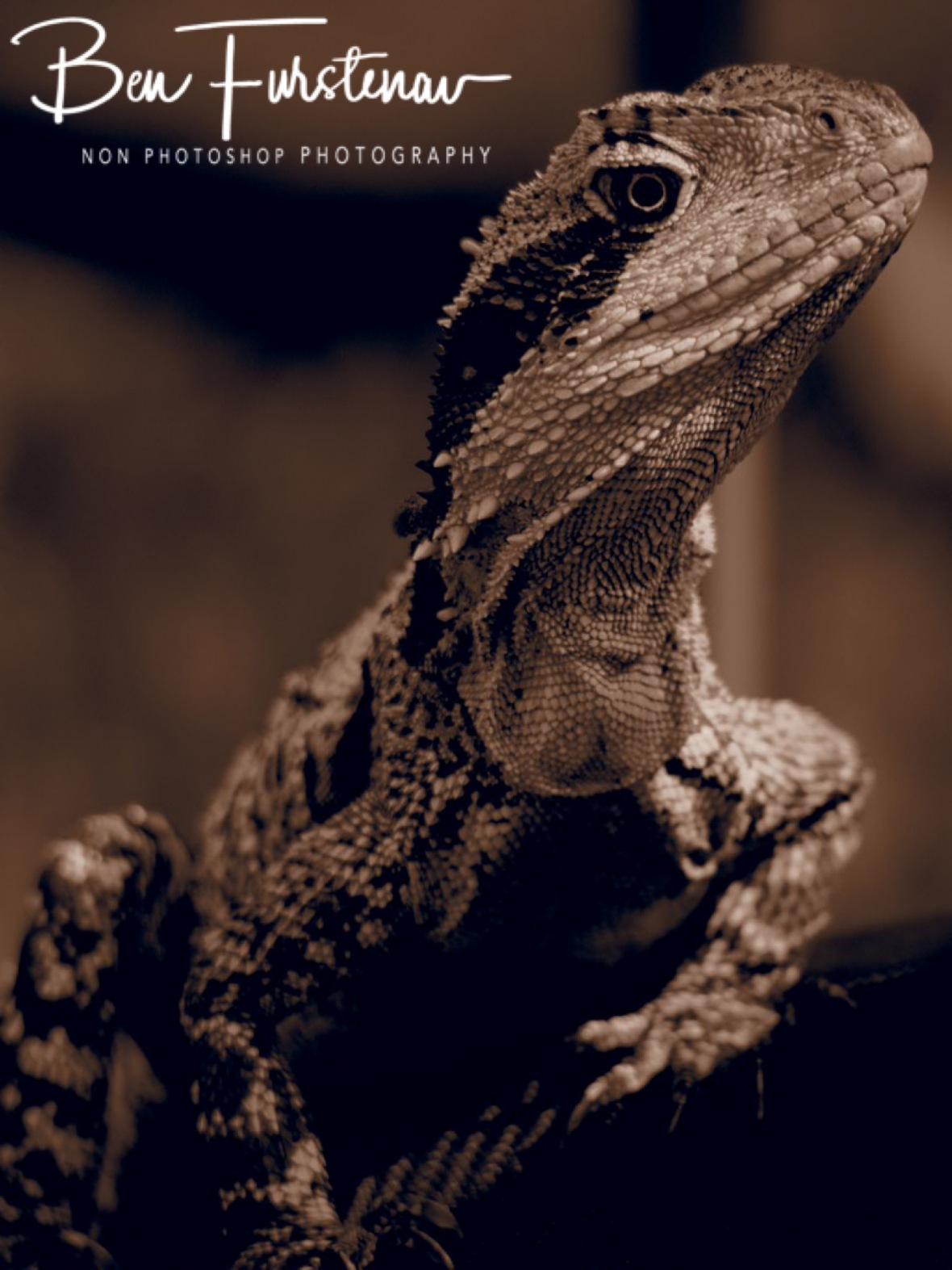 Inquisitive water dragon, Gibraltar Range National Park, NSW, Australia