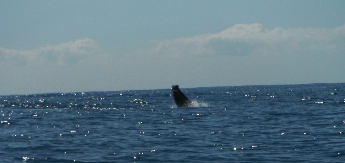 Humpback whales splashing around Coffs Harbour coastline, New South Wales, Australia