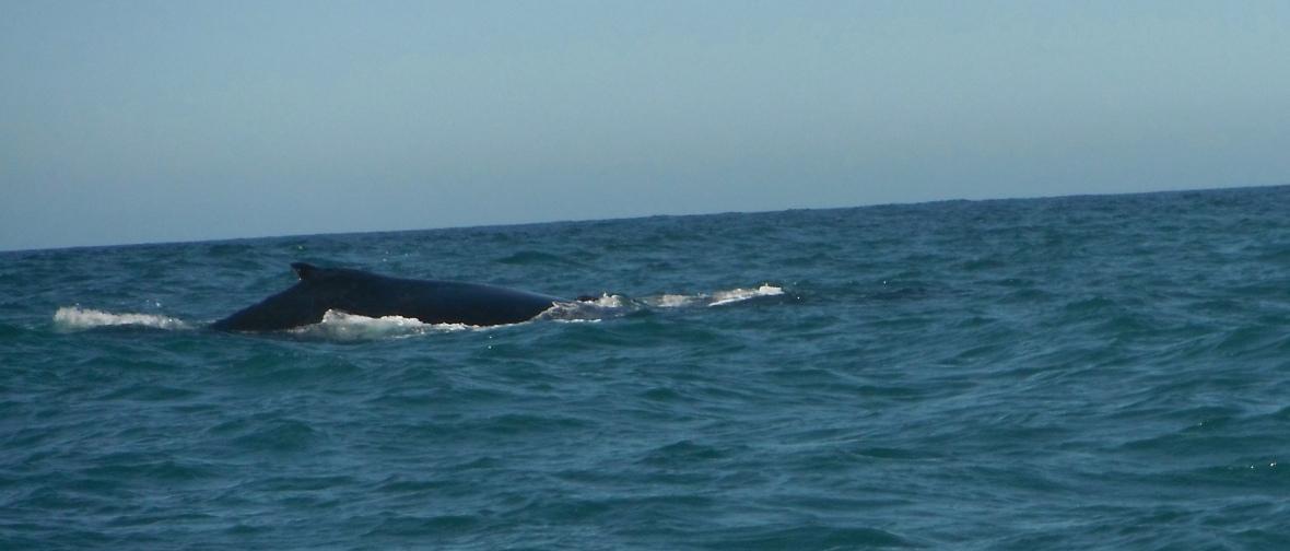 Humpback whales migration along New South Wales Coast, Australia