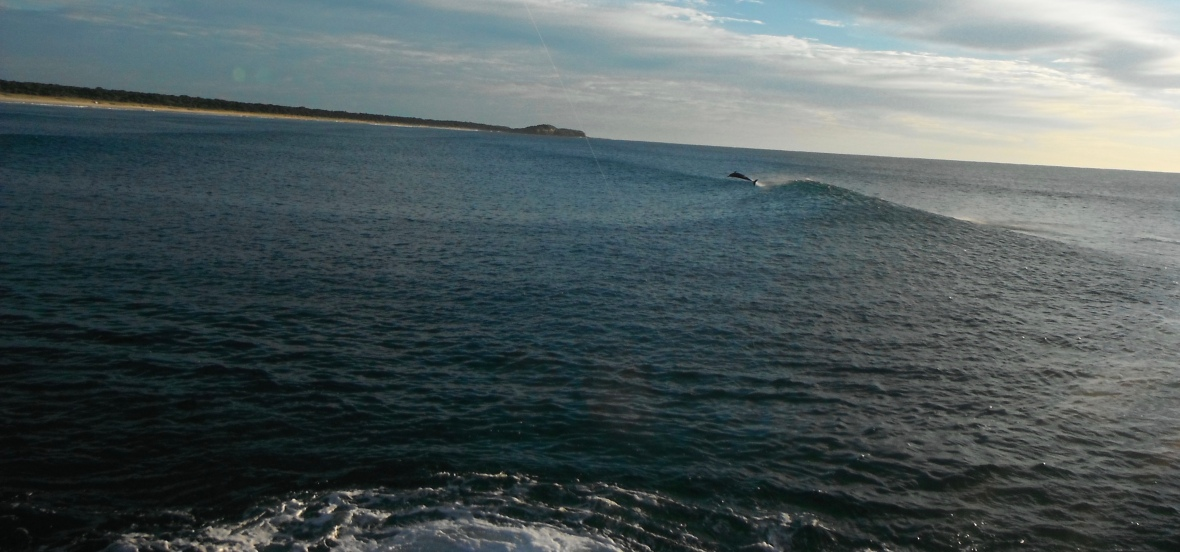 Dolphins frolicking in the surf at Iluka, New South Wales, Australia