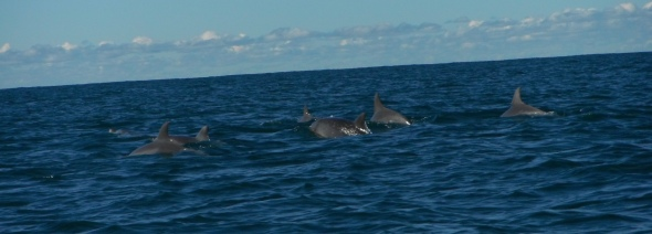 A pod of dolphins gather for a feast, Crowdy Head, New South Wales, Australia