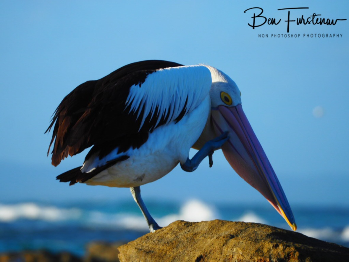 Scratching the long beak, Woody Head, New South Wales, Australia