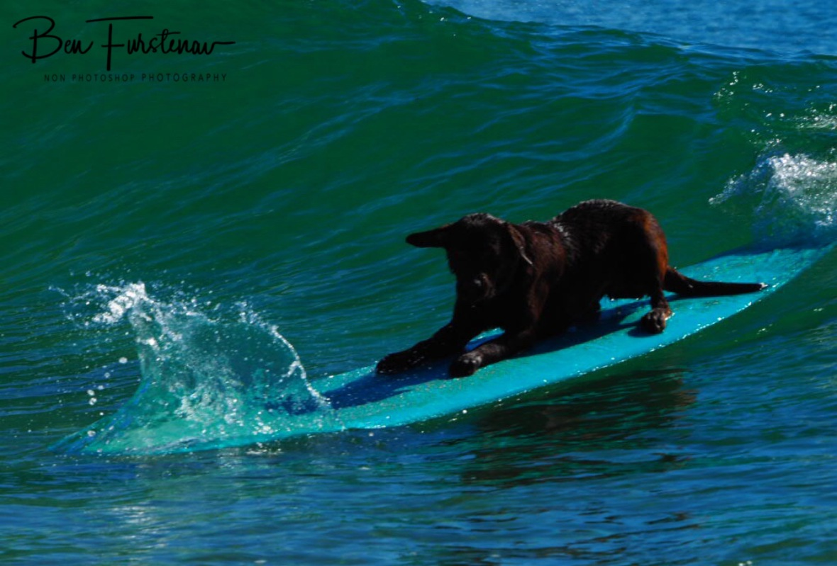 Chocolate Labrador surfing at Diggers Beach, New South Wales, Australia