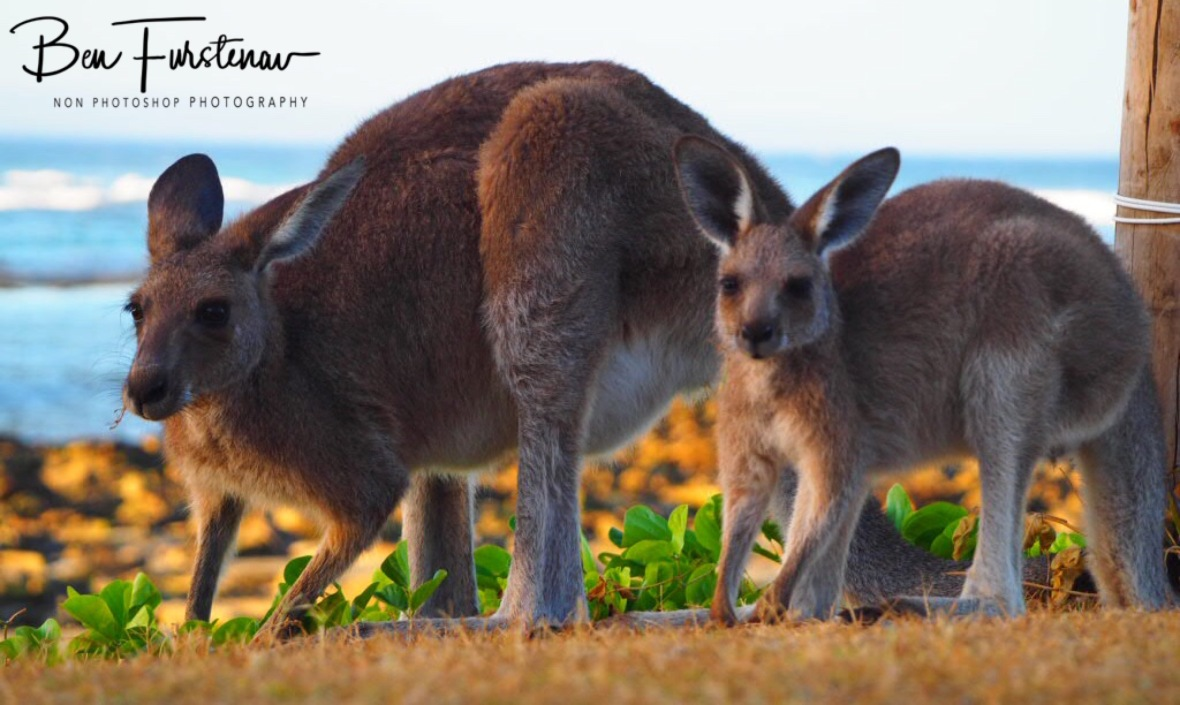 Mother kangaroo and Joey grazing side by side at Woody Head, New South Wales, Australia