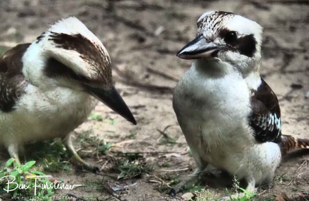 Kookaburra discussion, Queensland, Australia
