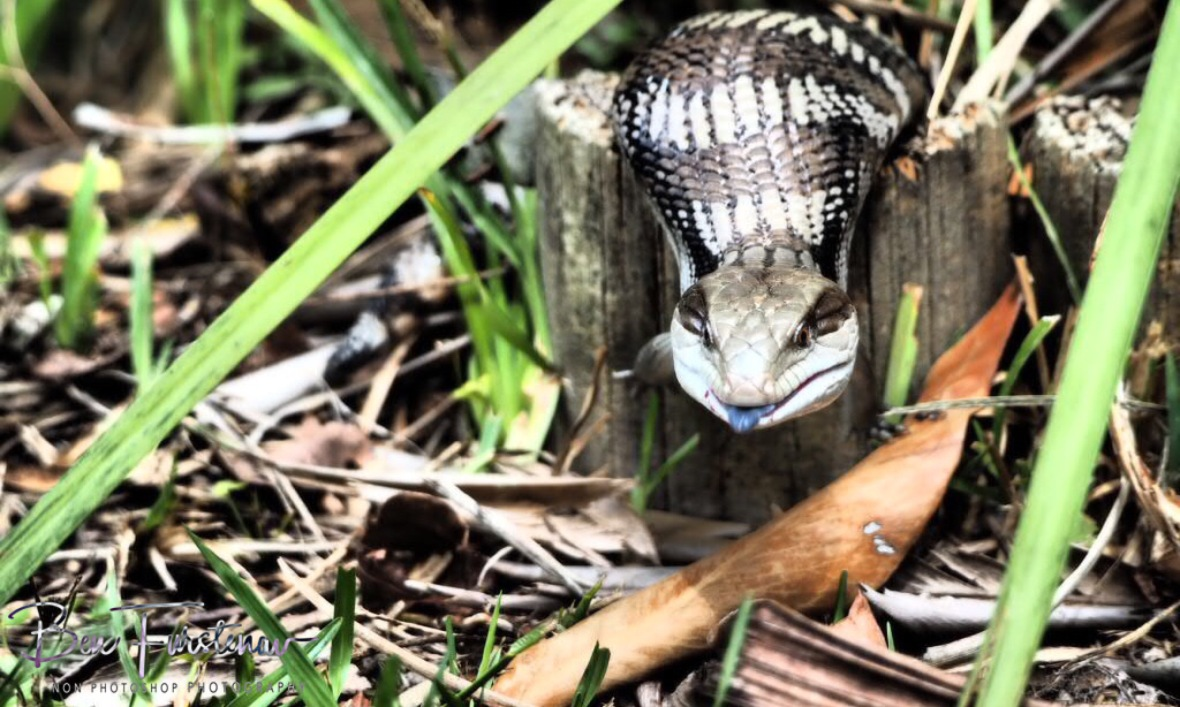 A healthy blue tongue lizard in Coffs Harbour, New South Wales, Australia