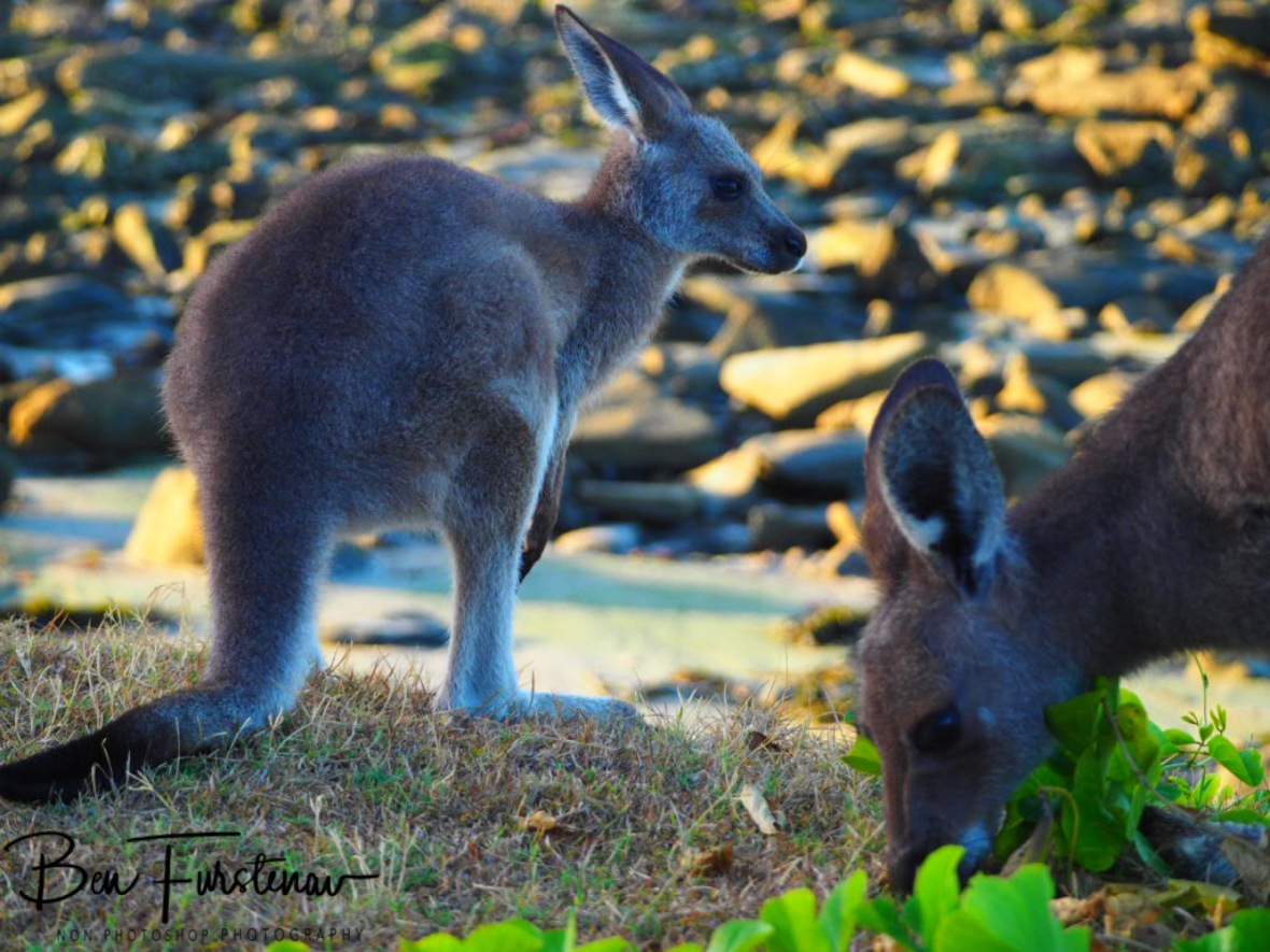 Grazing by the beach at Woody Head, New South Wales, Australia