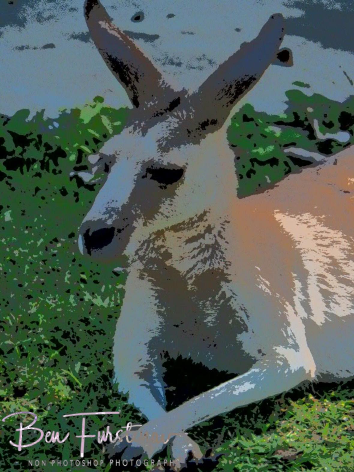 Skippy, tame but wild at Cape Hillsborough, Queensland, Australia