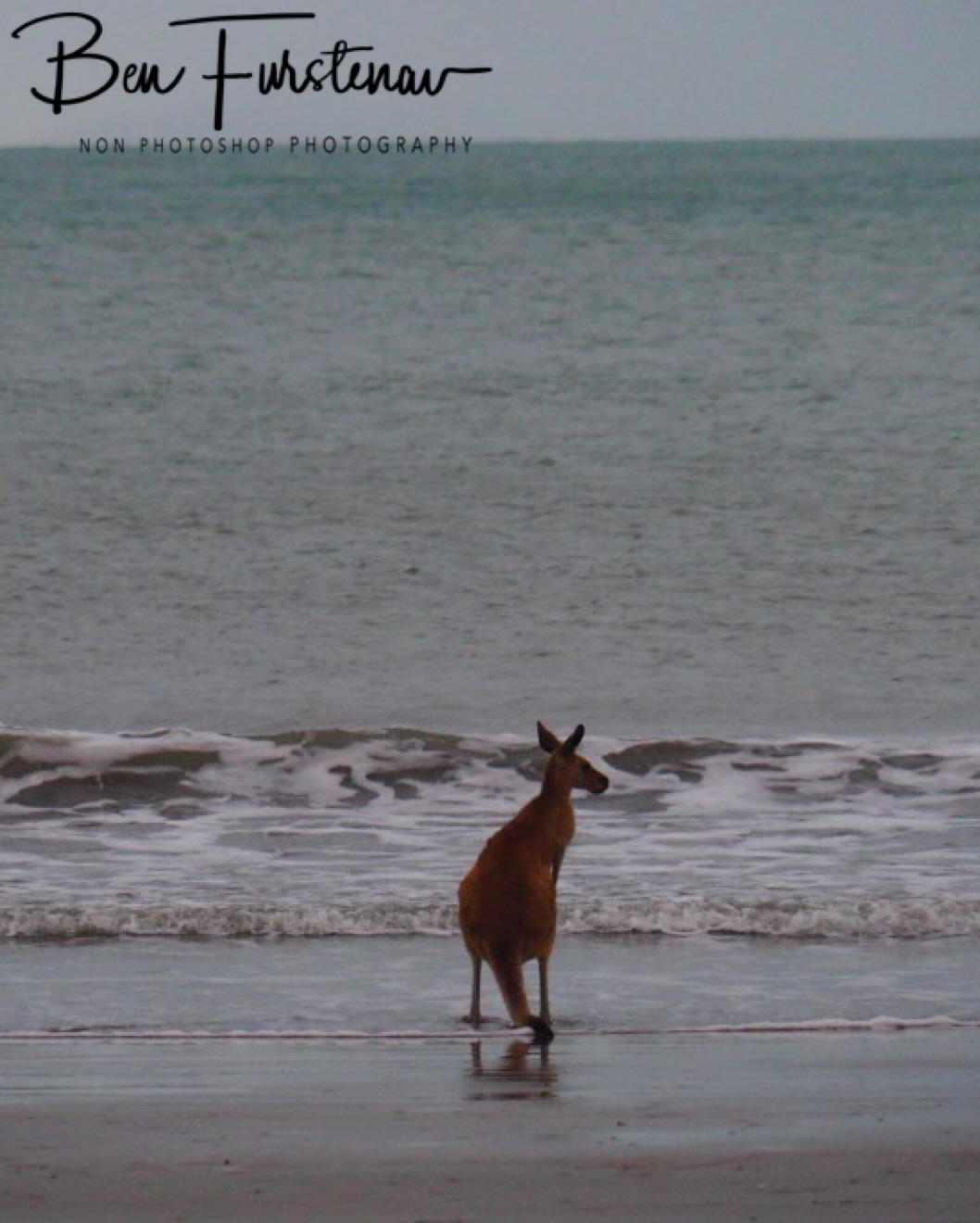 Skippy by the ocean at Cape Hillsborough, Queensland, Australia