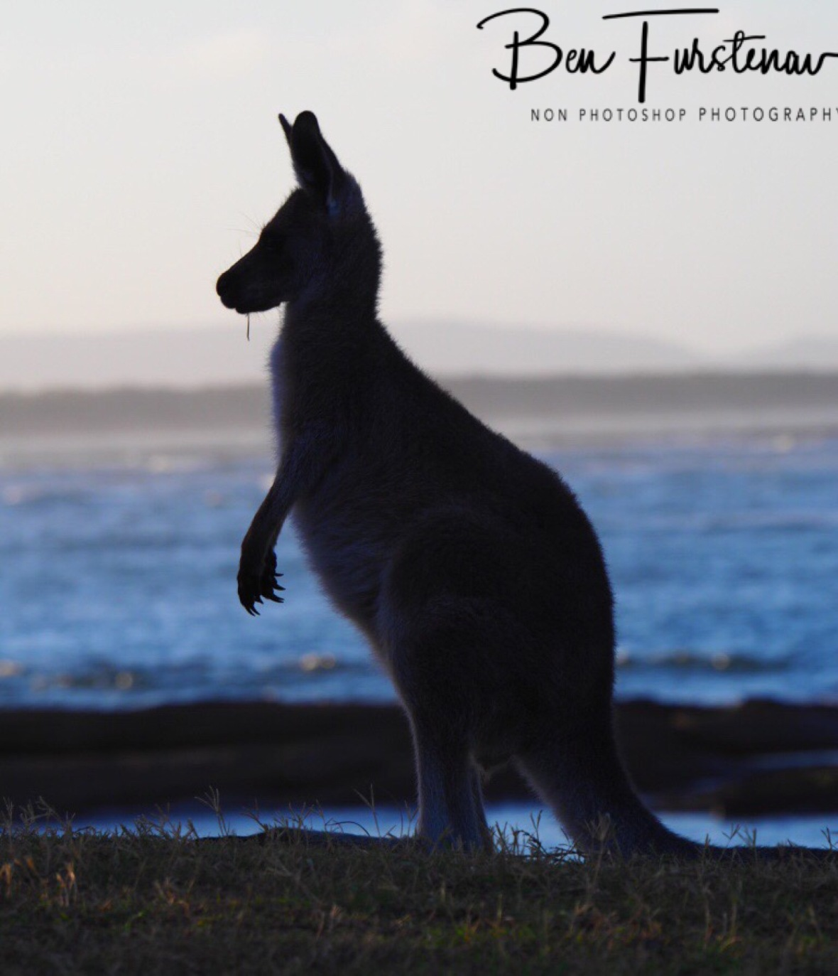 Kangaroo sunset pose at Woody Head, New South Wales, Australia