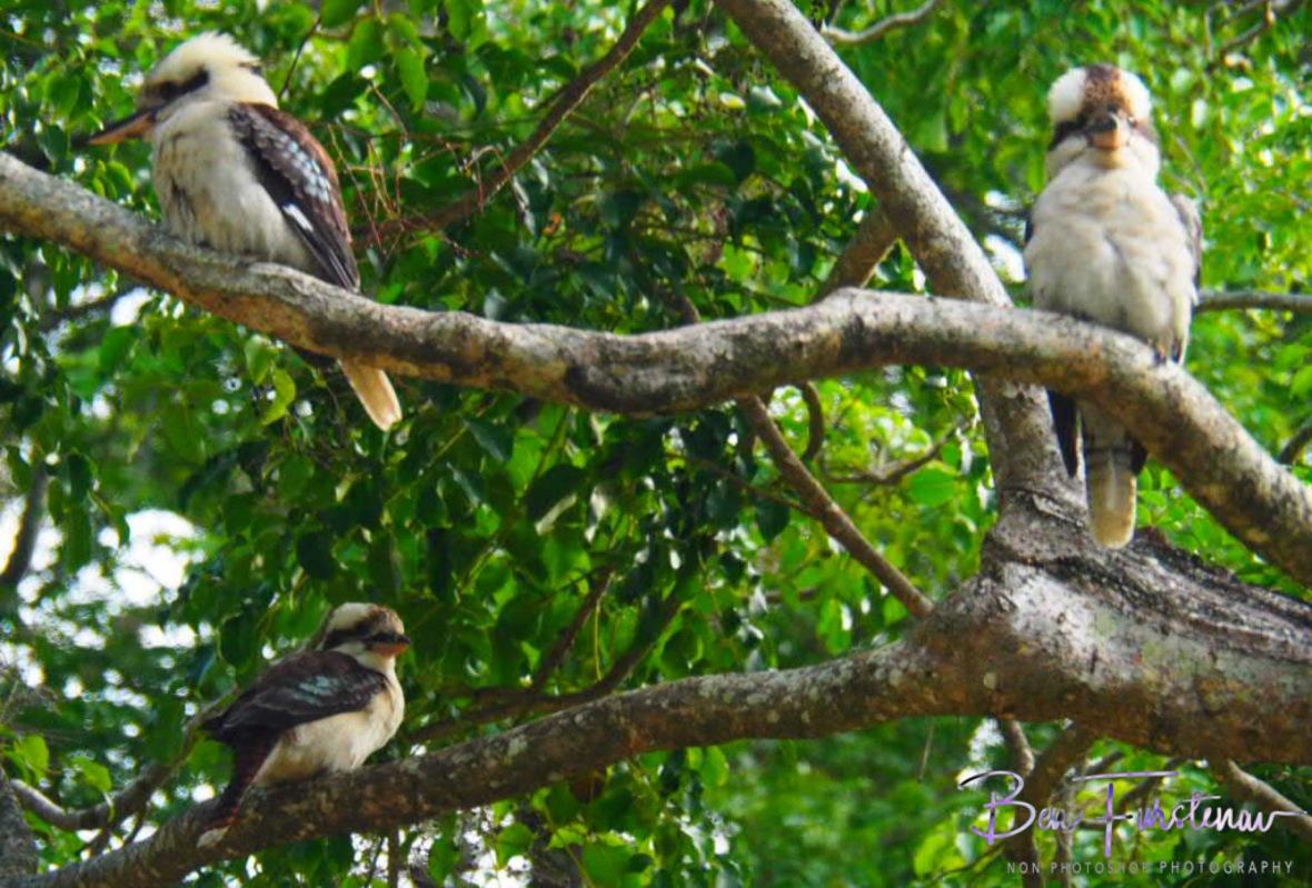 Three kookaburras sitting in the tree, Queensland, Australia
