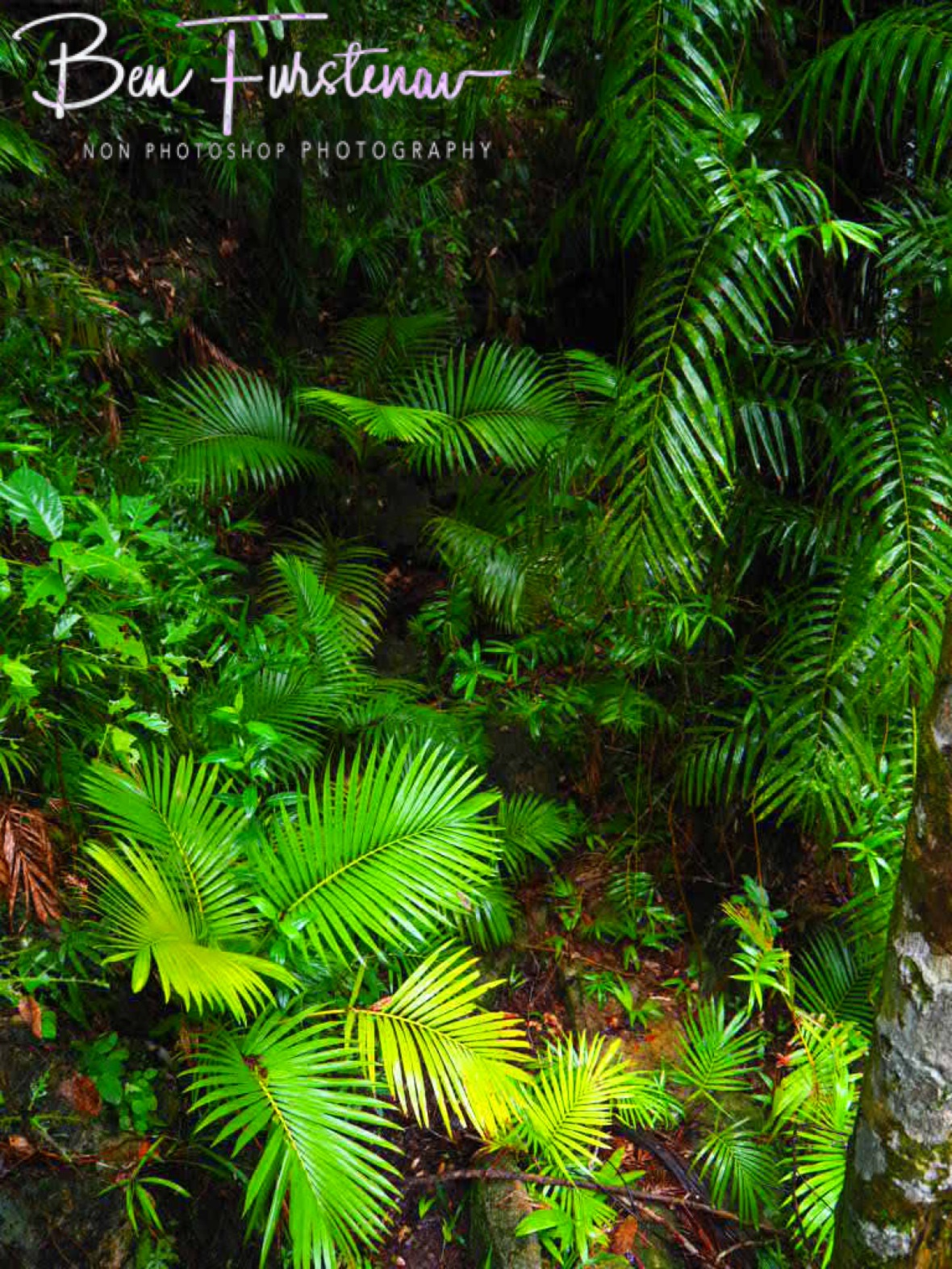 50 shades of green fern at Finch Hatton Gorge, Eungalla National Park, Queensland, Australia