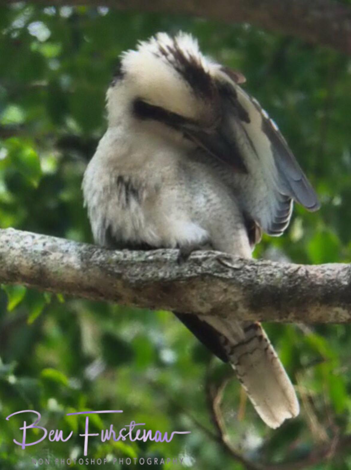 Cleaning kookaburra, Queensland, Australia