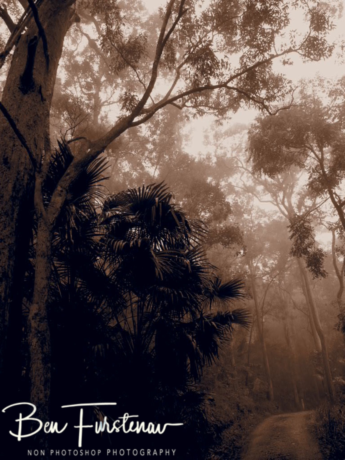 Foggy forest in sepia at Eungalla National Park, Queensland, Australia