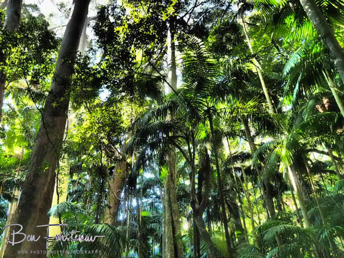 Almost tropical palm tree forest at Lamington National Park, Queensland, Australia