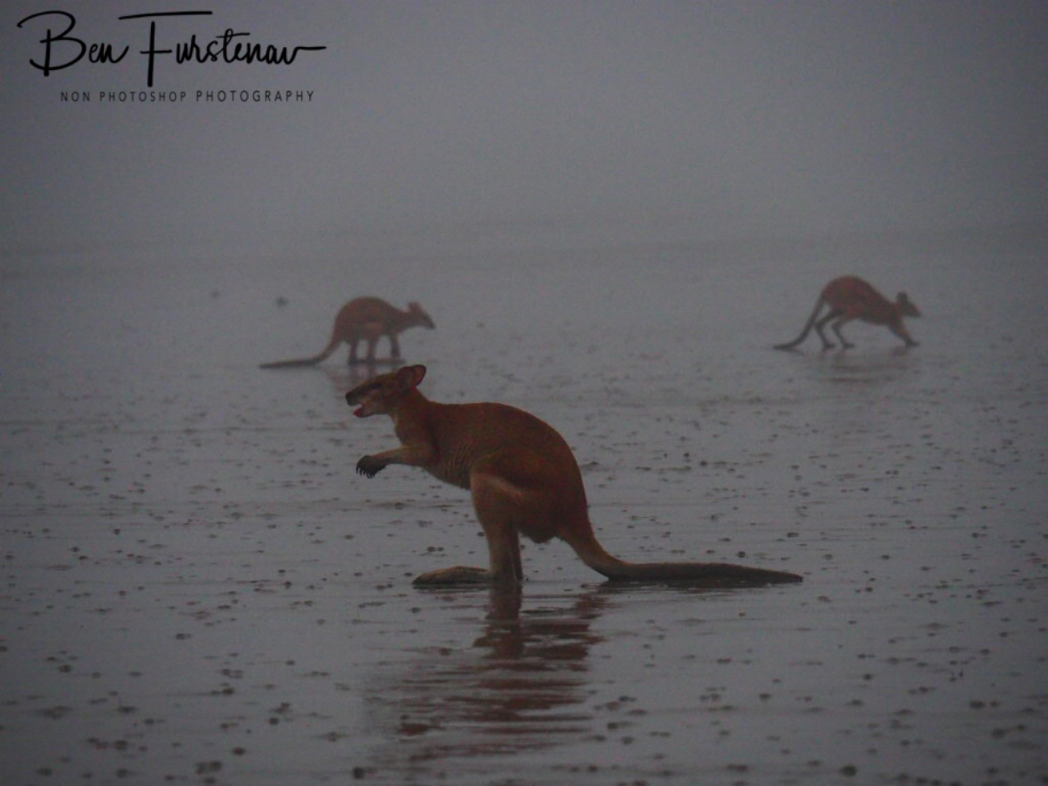 Spice Roos at Cape Hillsborough, Queensland, Australia