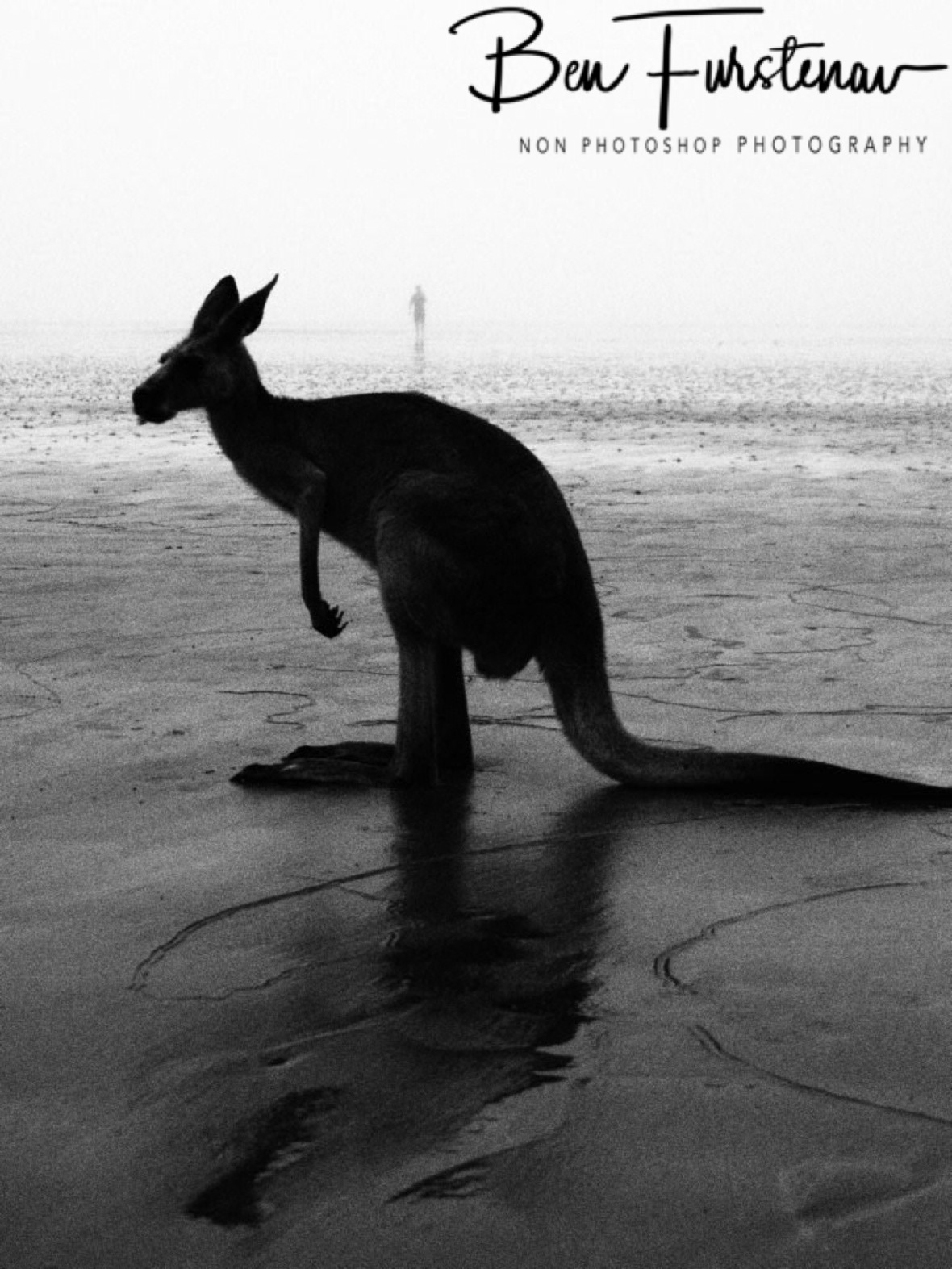 Skippy. Cape Hillsborough, Queensland, Australia
