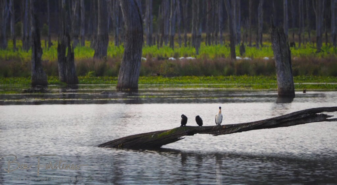 Waterbirds Paradise at Lake Somerset, Queensland, Australia
