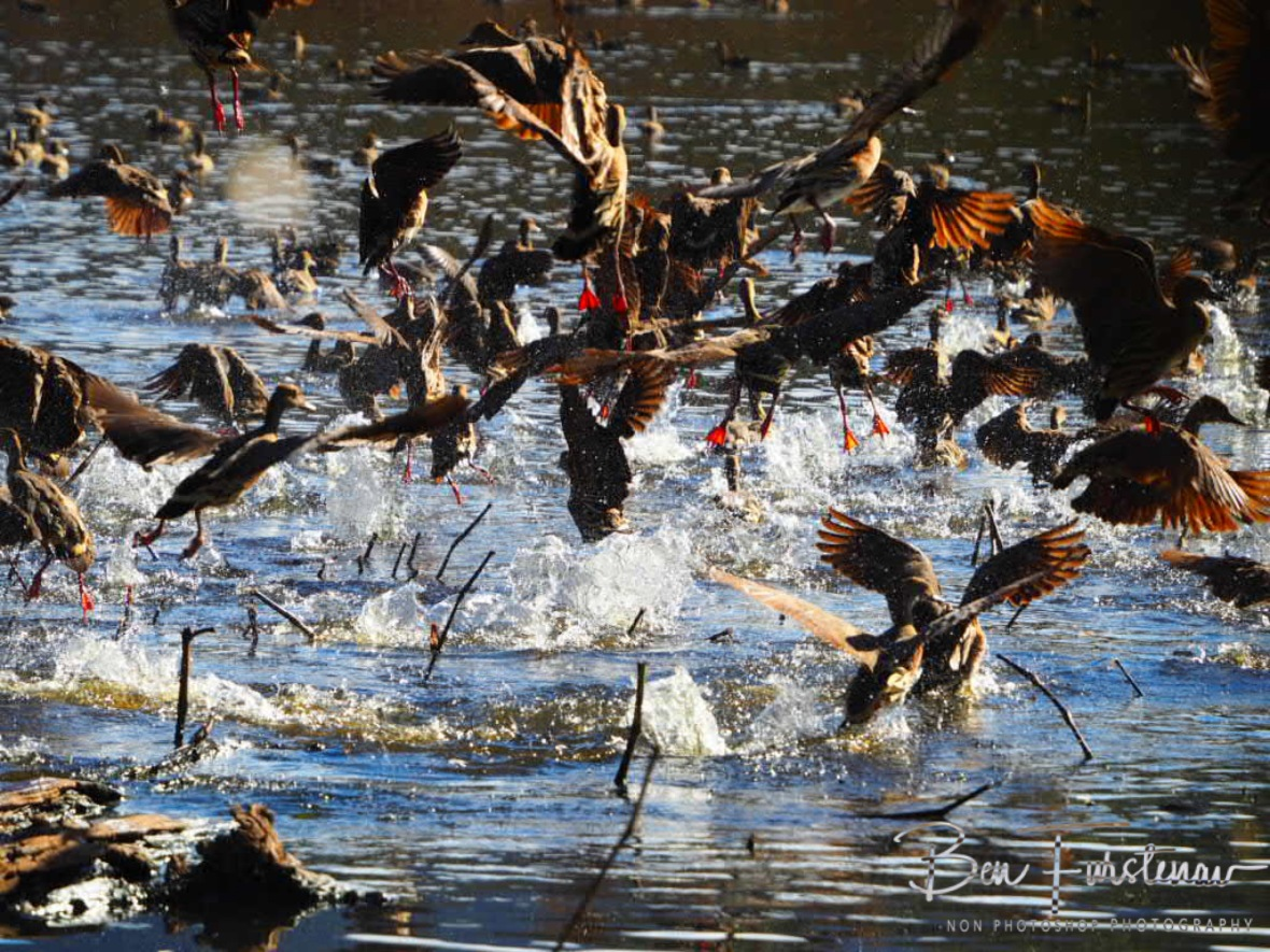 Whistling Ducks are easily spooked at Hasties Swamp, Atherton Tablelands, Queensland, Australia