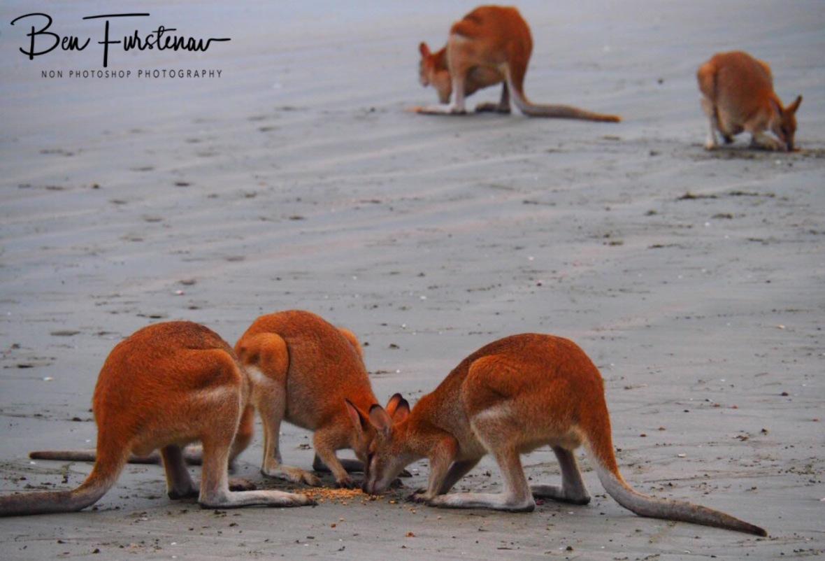Feeding grounds at Cape Hillsborough, Queensland, Australia