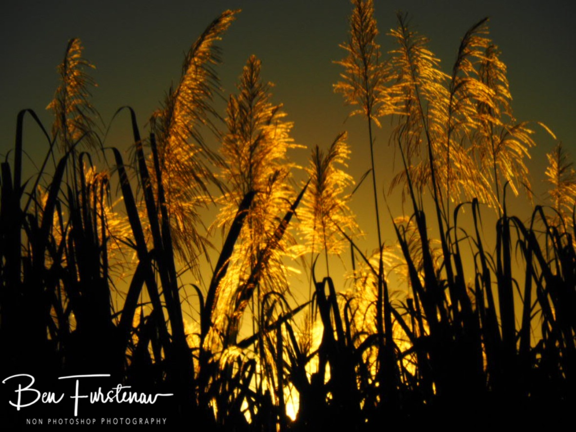Flowering sugarcane at sunset near Mackay, Queensland, Australia
