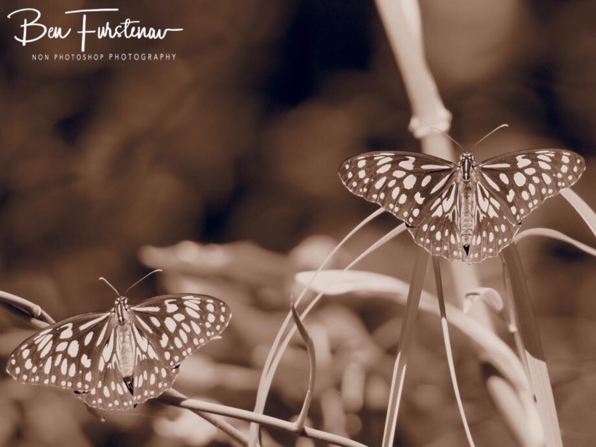 Butterflies at plenty at Cape Hillsborough, Queensland, Australia