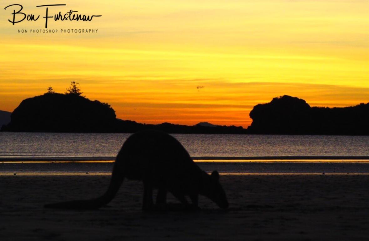 Beach wallabies at sunrise at Cape Hillsborough, Queensland, Australia
