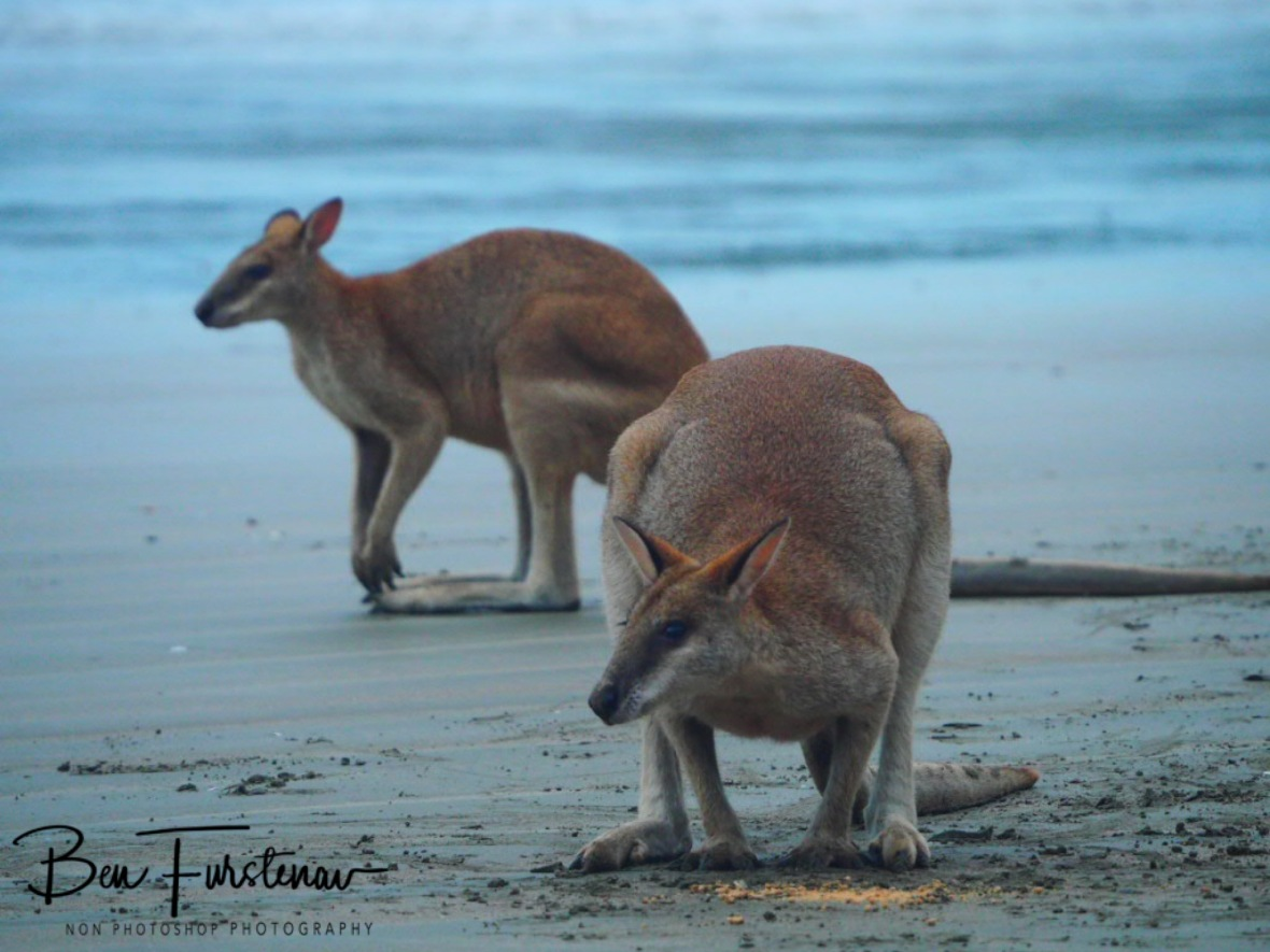 Agile Wallabies at Cape Hillsborough, Queensland, Australia