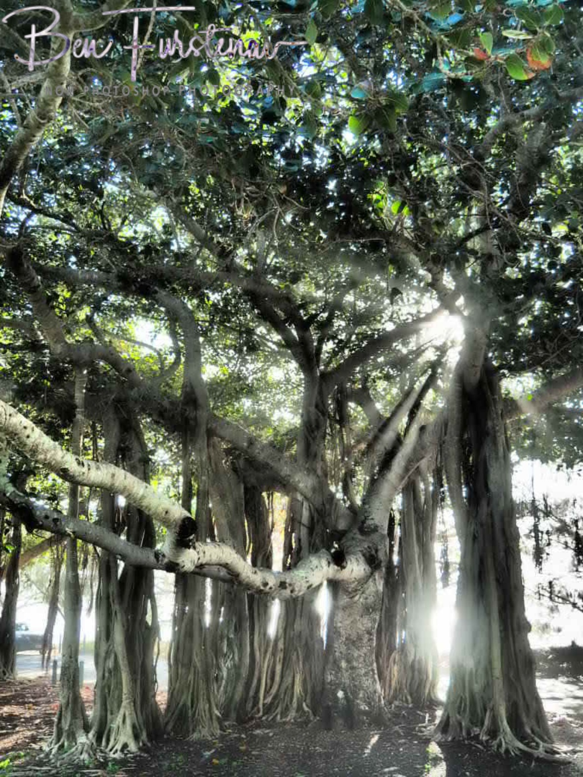 Sun rays shine through fig trees at Townsville, Queensland, Australia