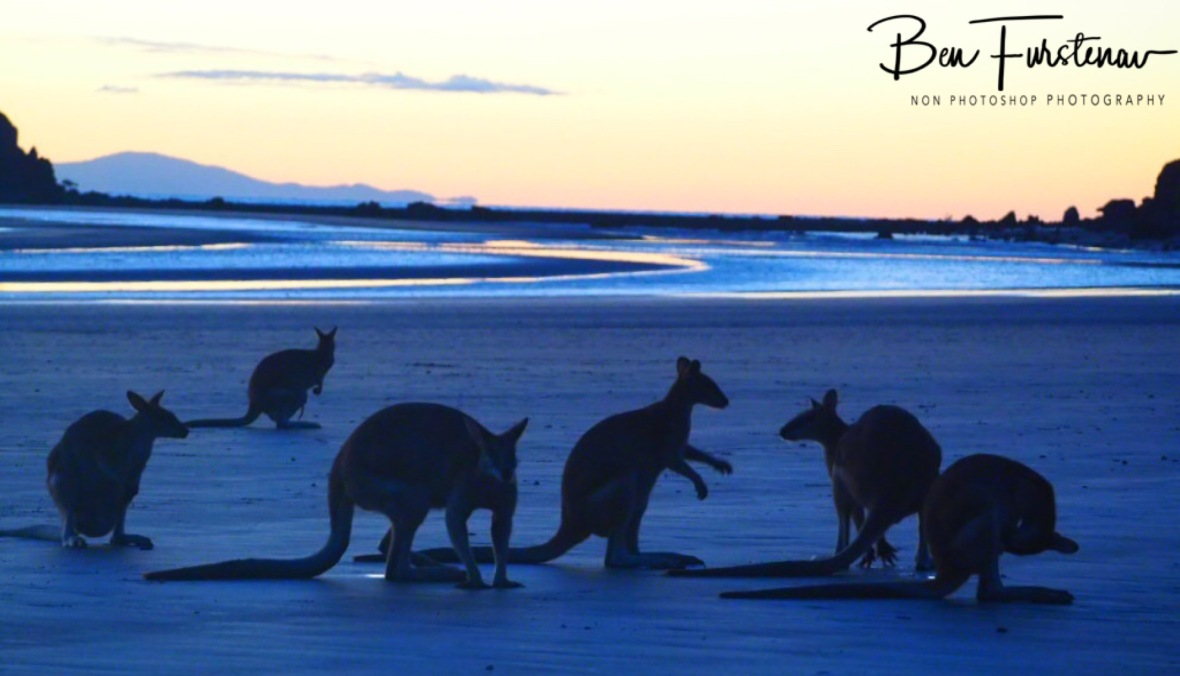 Wallaby gathering at Cape Hillsborough, Queensland, Australia