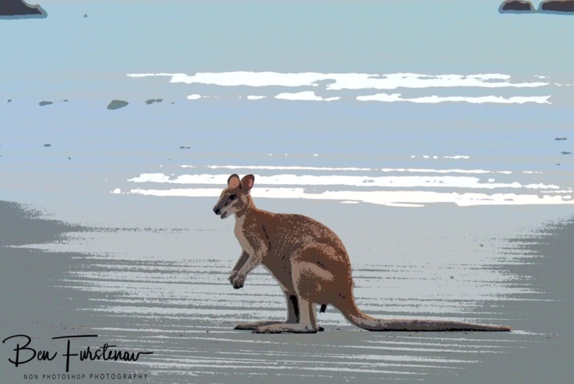 Young male agile wallaby in painting setting at Cape Hillsborough, Queensland, Australia