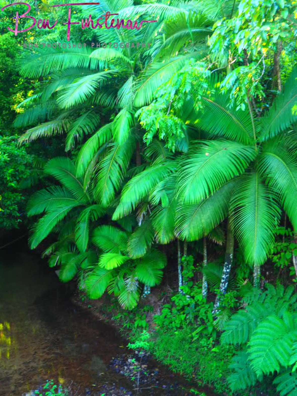 Tall green ferns banked at clear creeks at Mission Beach, Queensland, Australia