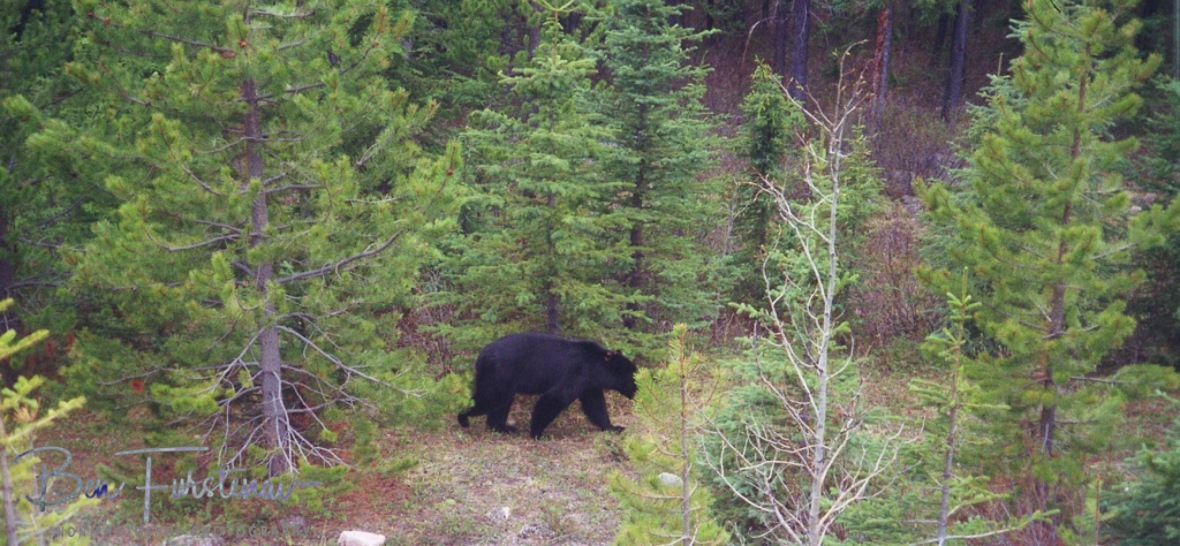 A young black bear foraging for food in the Rocky Mountains, Canada