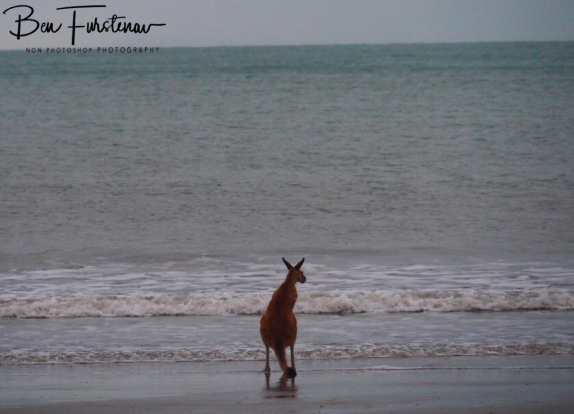 Curious kangaroo at Cape Hillsborough, Queensland, Australia
