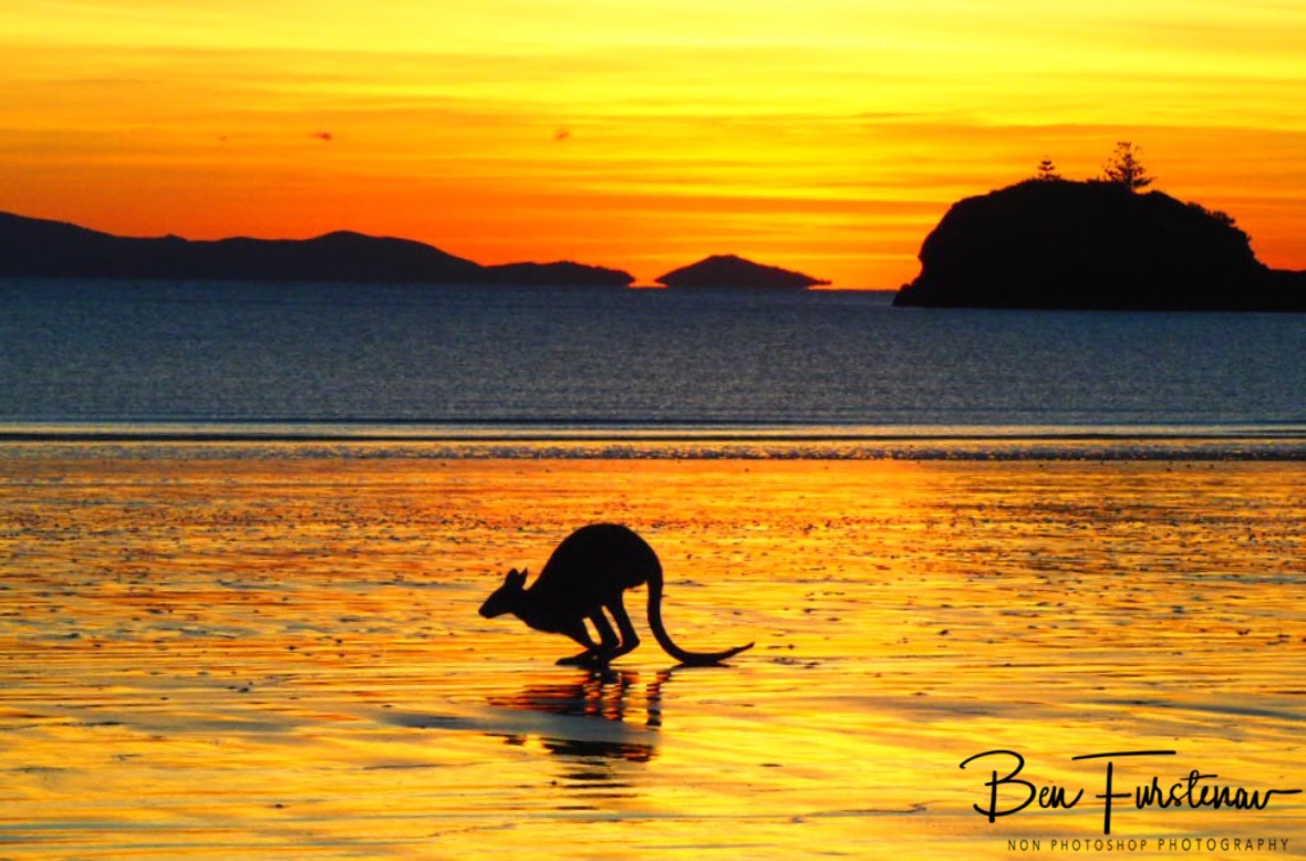 Ready to hop at Cape Hillsborough, Queensland, Australia