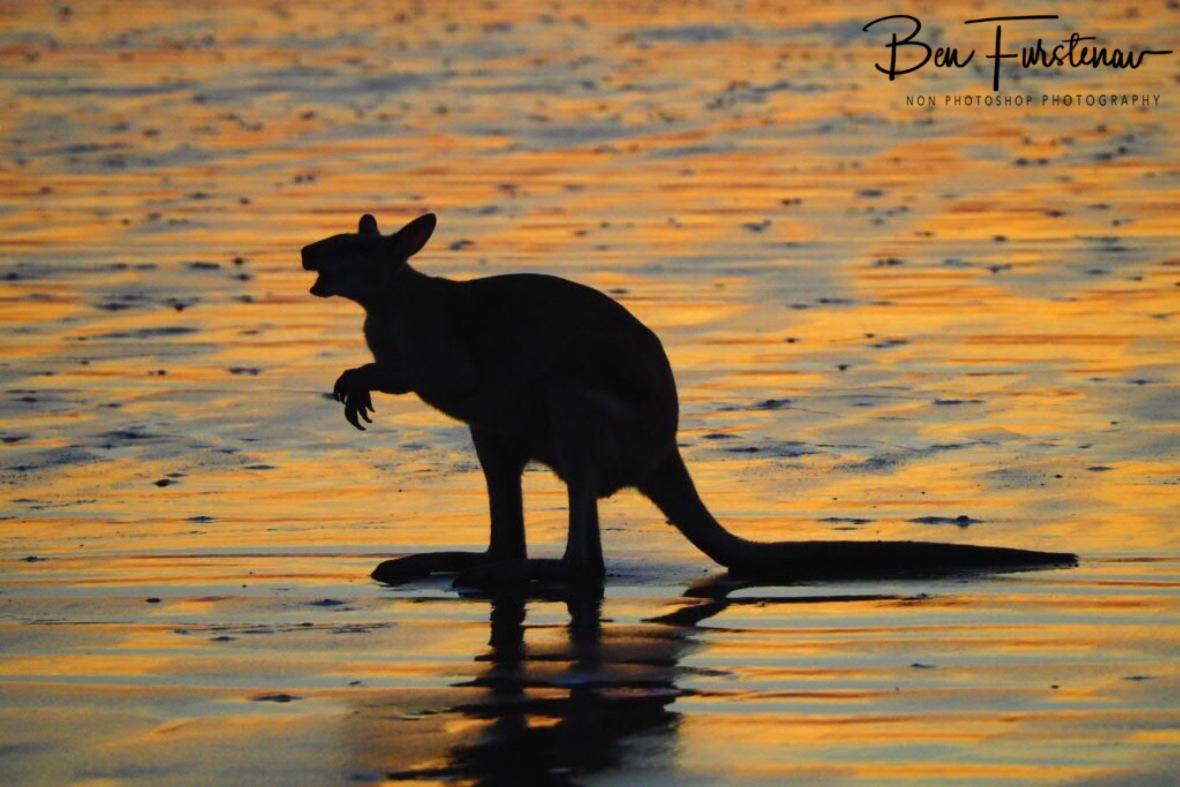 Regurgitating on the beach at Cape Hillsborough, Queensland, Australia