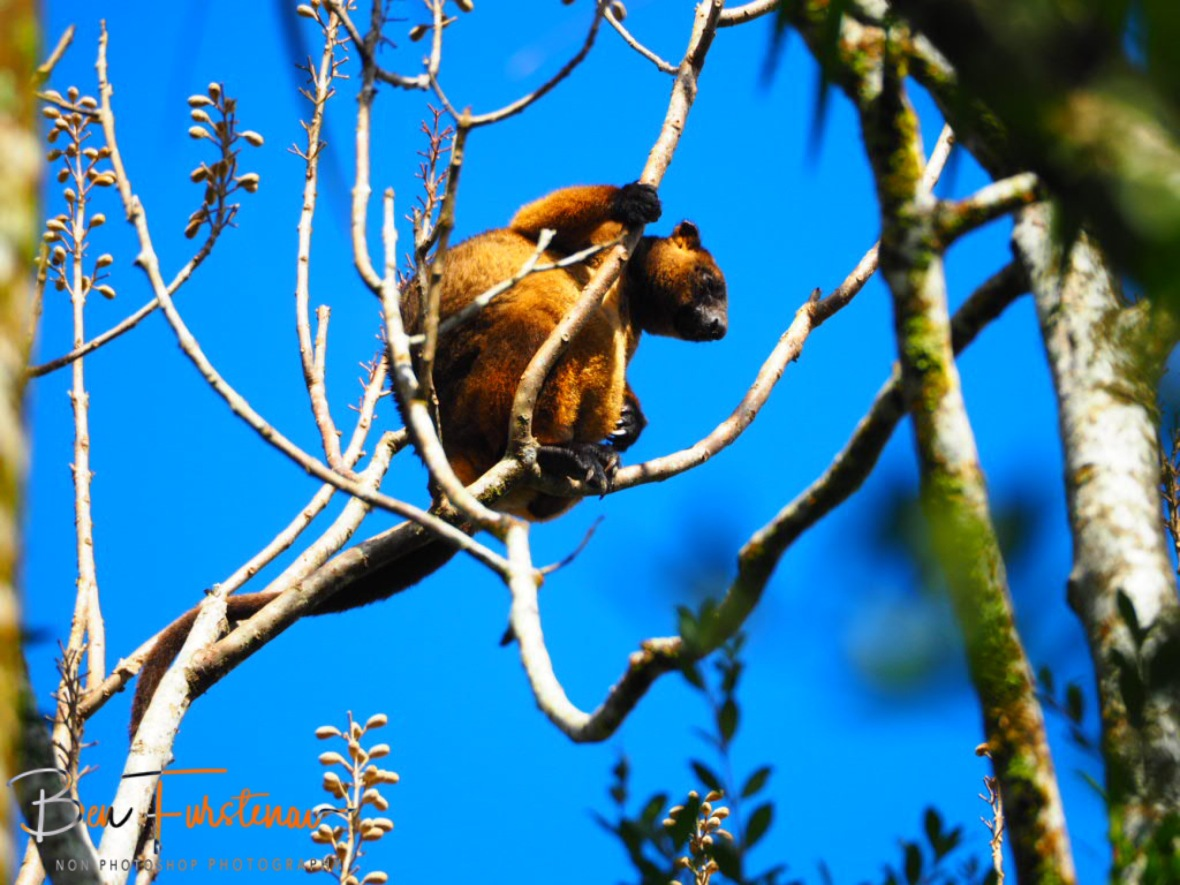 Lumholz Tree Kangaroo is an endangered species and lives nowhere else then in Atherton Tablelands, Queensland, Australia