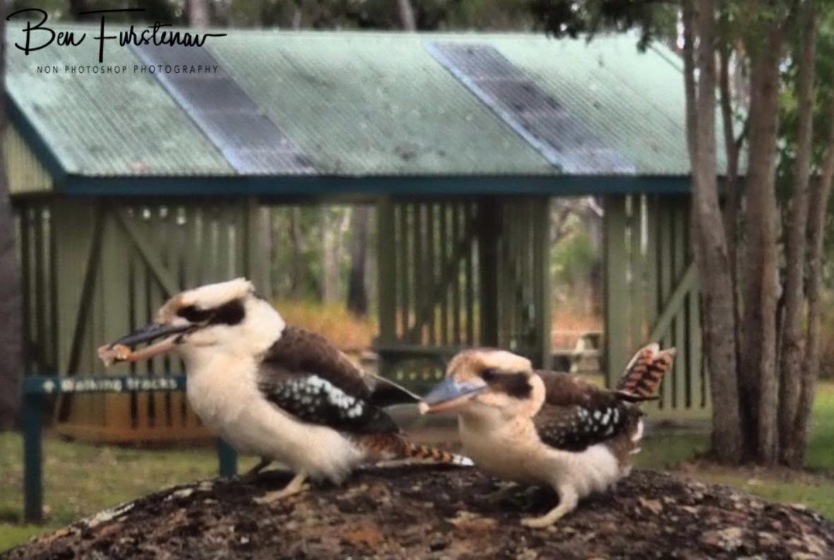Laughing kookaburra parents at Atherton Tablelands, Far North Queensland, Australia