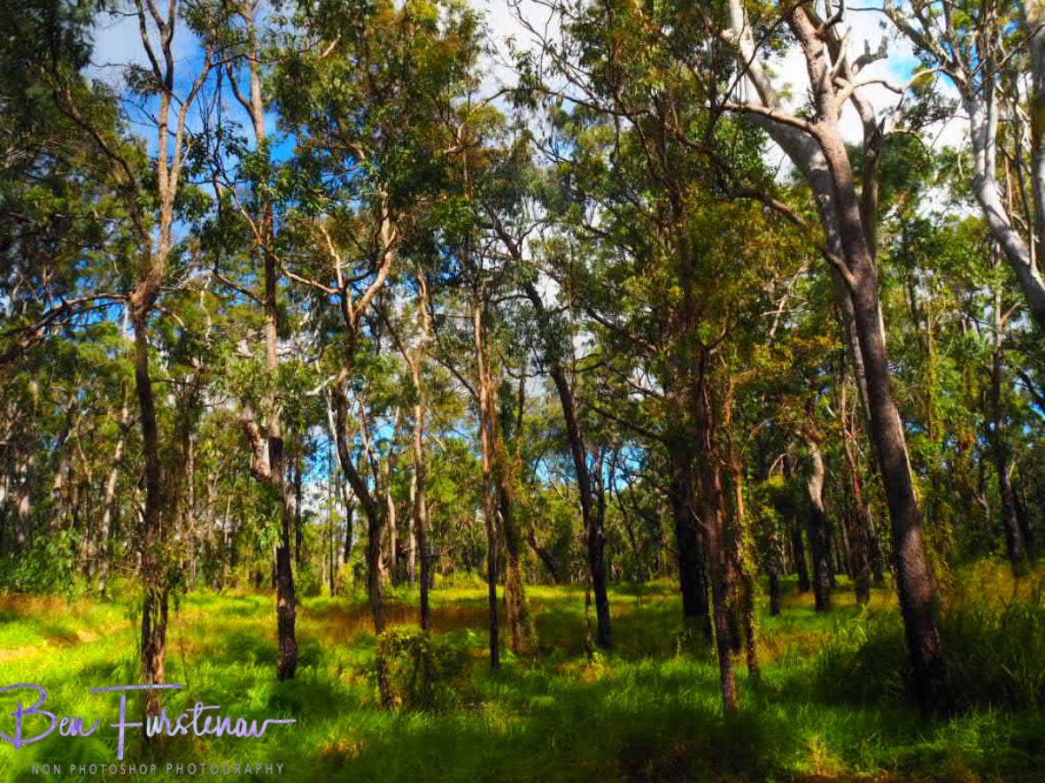 Colourful eucalyptus forest at Atherton Tablelands, Far North Queensland, Australia