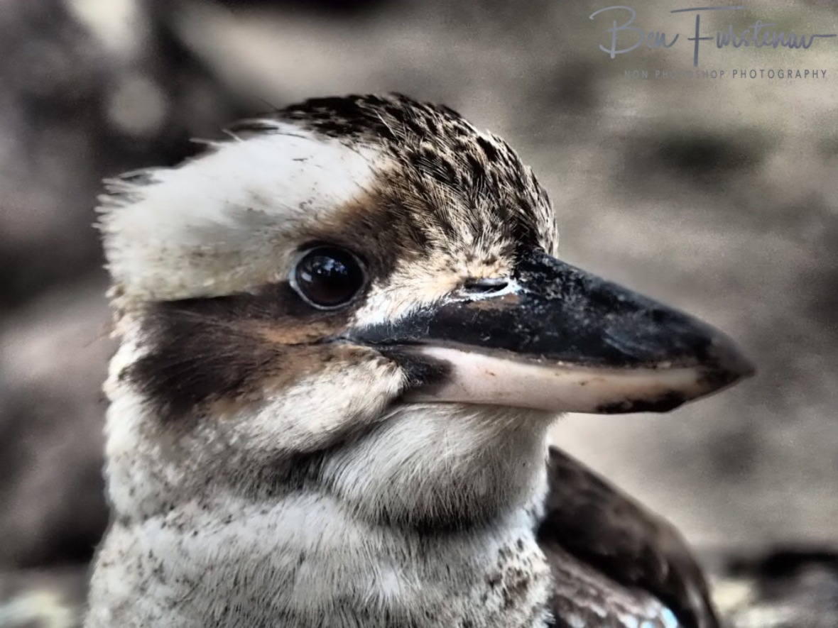 Solid beak, Atherton Tablelands, Far North Queensland, Australia