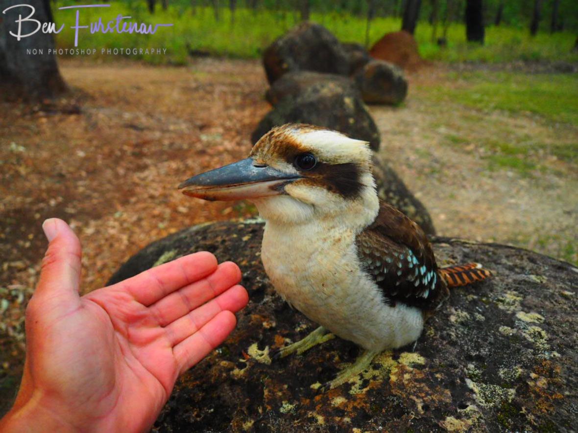 Farewell kookaburra at Atherton Tablelands, Far North Queensland, Australia